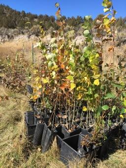riparian saplings